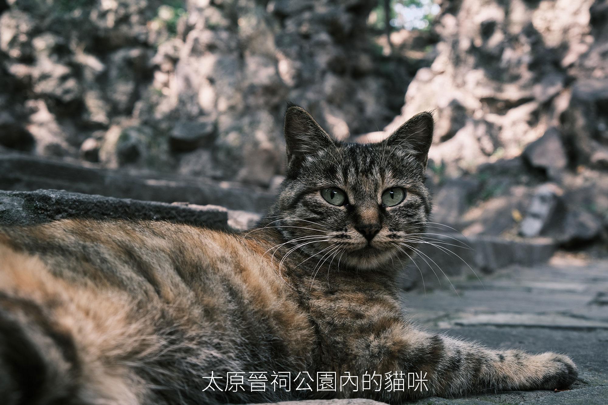 晋祠公园猫咪